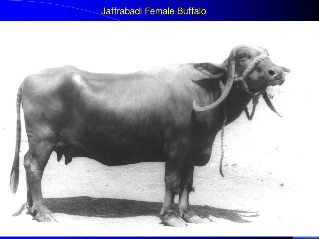 Jaffrabadi Female Buffalo