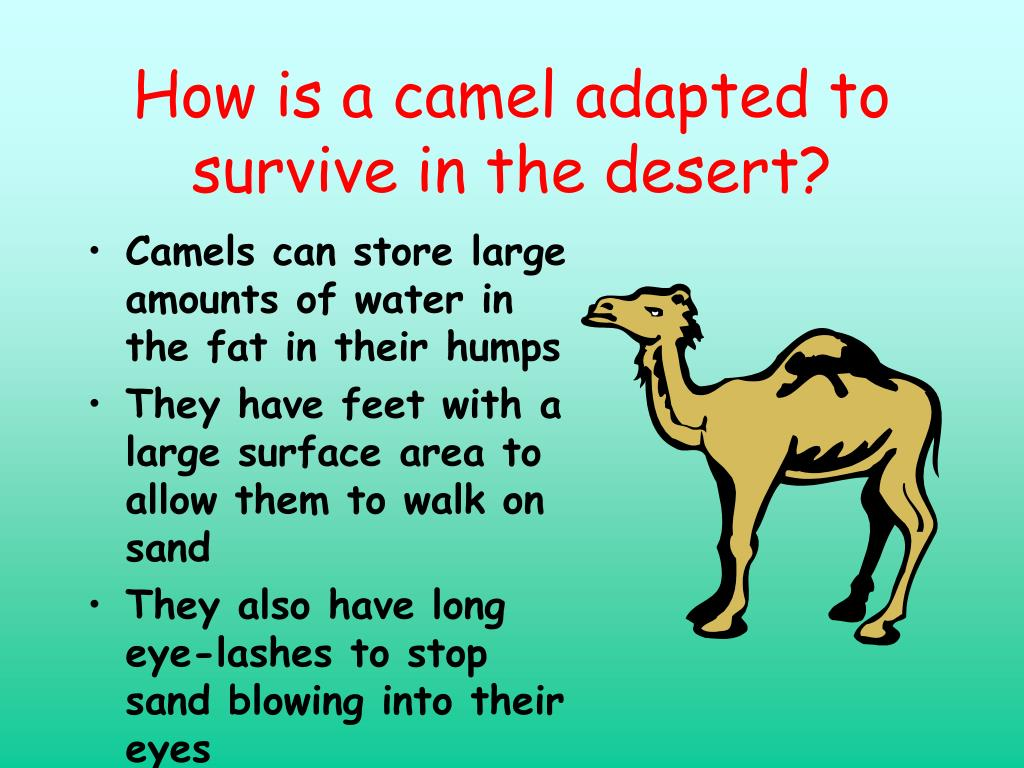 How is a camel adapted to survive in the desert?