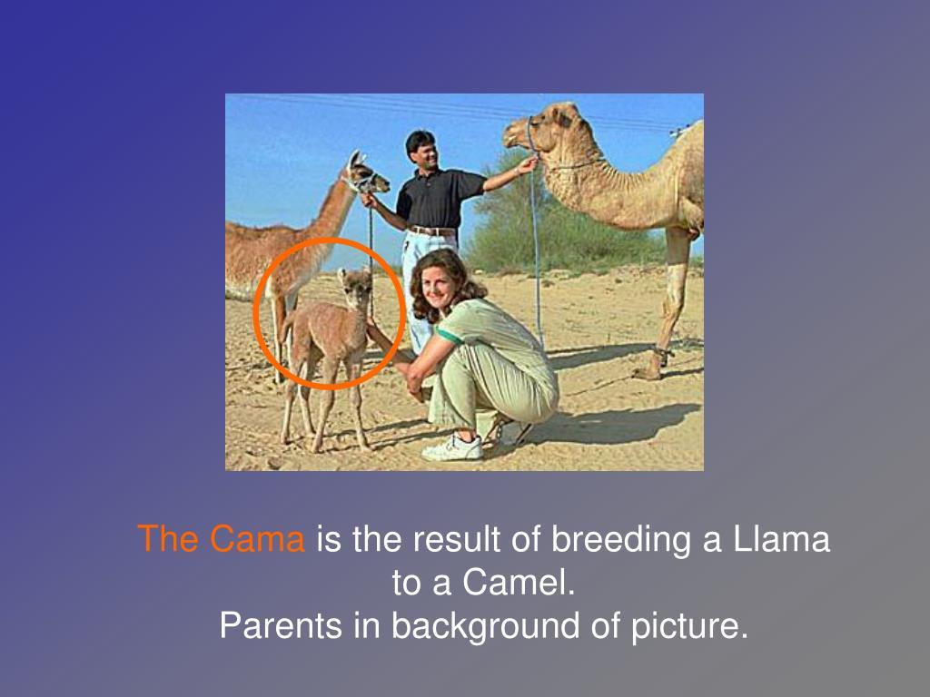 The Cama