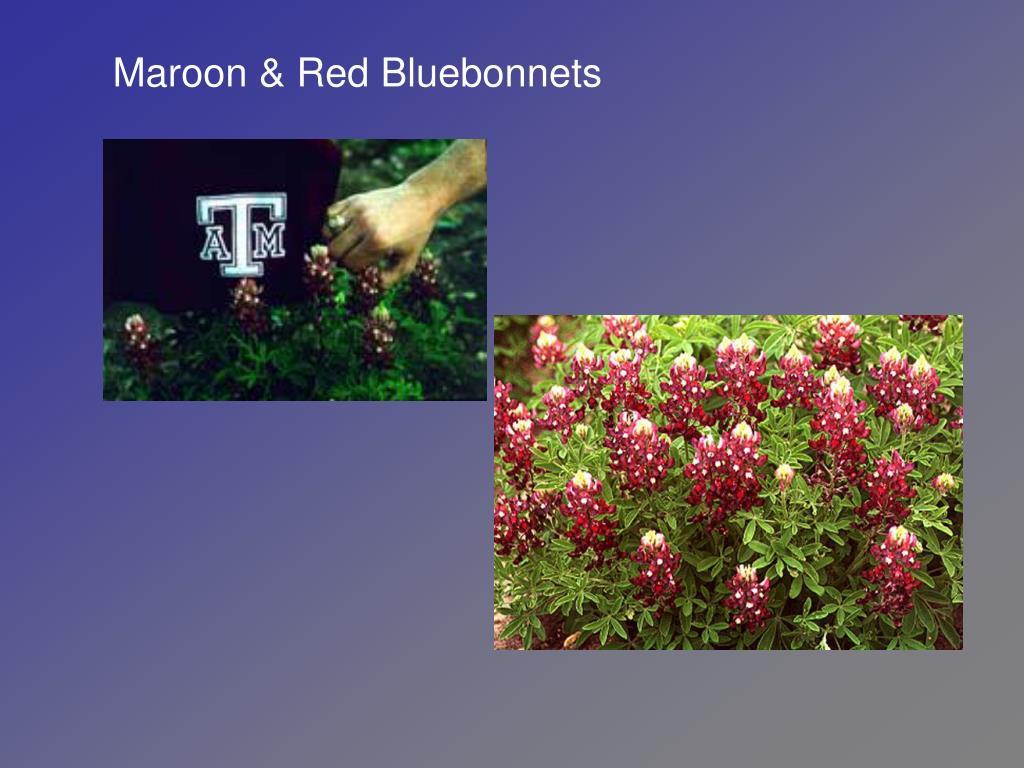 Maroon & Red Bluebonnets