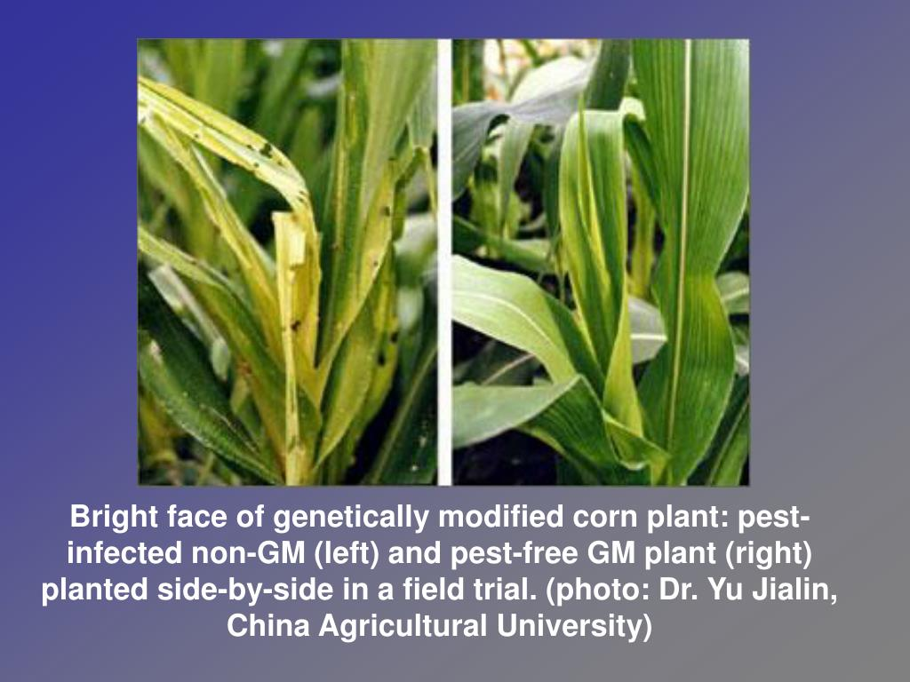 Bright face of genetically modified corn plant: pest-infected non-GM (left) and pest-free GM plant (right) planted side-by-side in a field trial. (photo: Dr. Yu Jialin, China Agricultural University)
