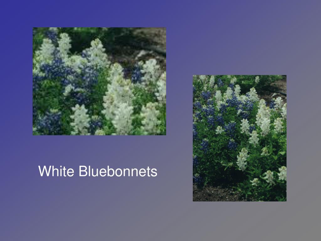 White Bluebonnets