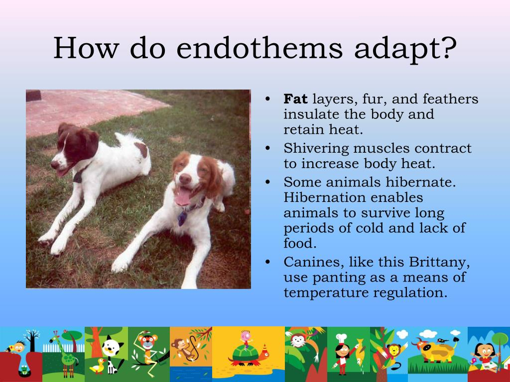 How do endothems adapt?