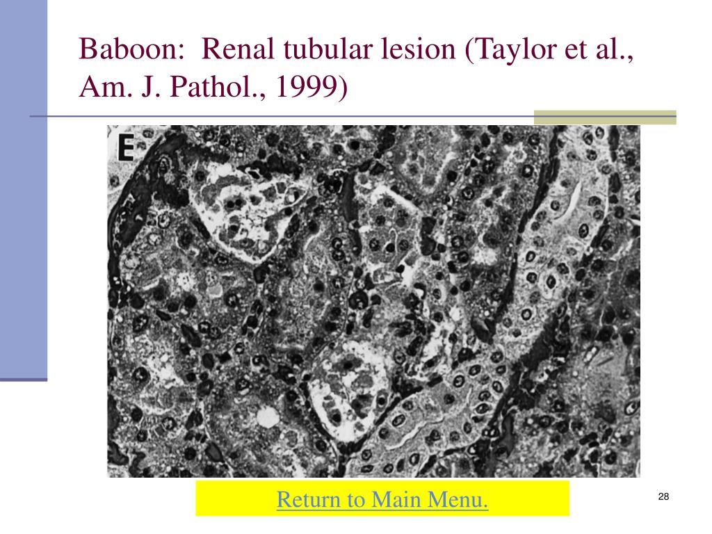 Baboon:  Renal tubular lesion (Taylor et al., Am. J. Pathol., 1999)