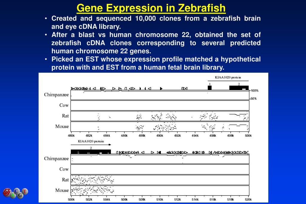 Gene Expression in Zebrafish