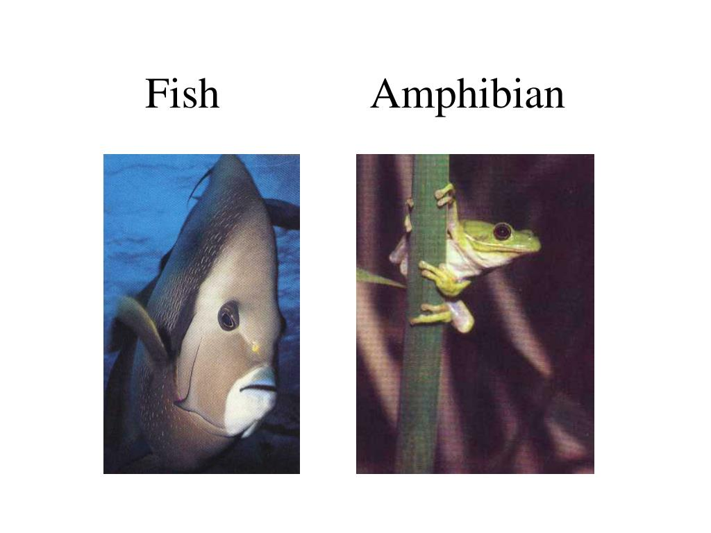 Fish              Amphibian
