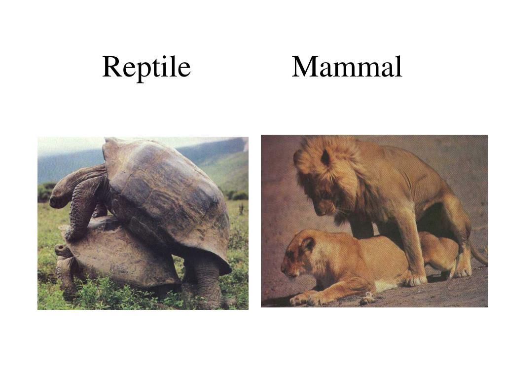 Reptile             Mammal