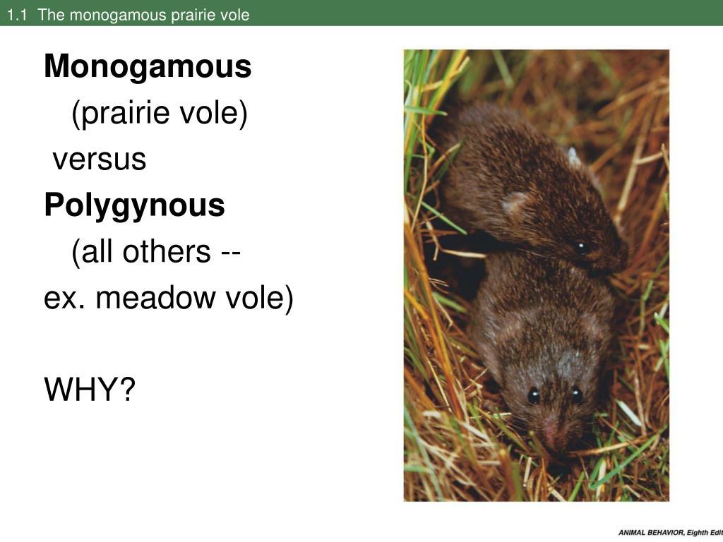 1.1  The monogamous prairie vole