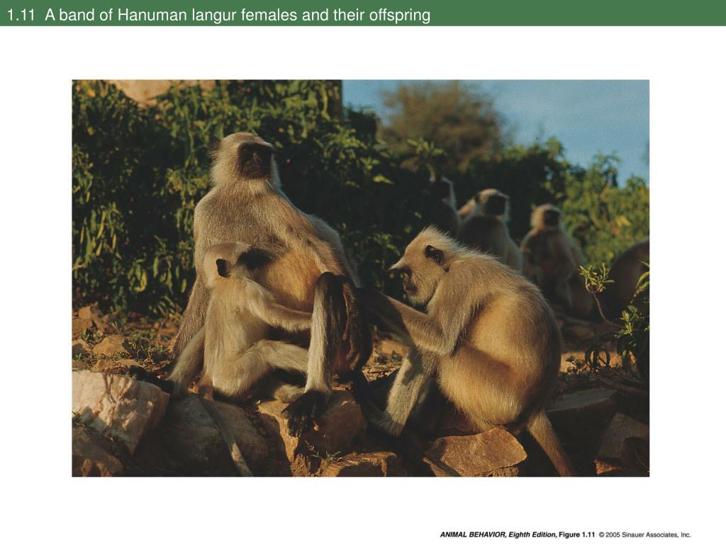 1.11  A band of Hanuman langur females and their offspring