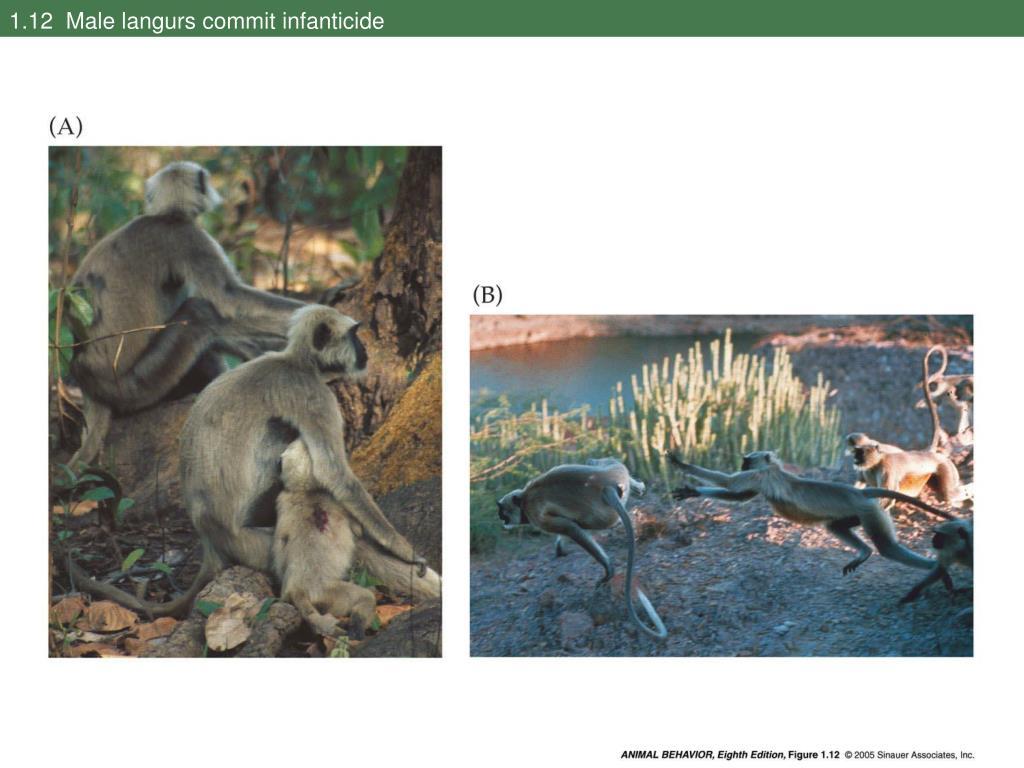 1.12  Male langurs commit infanticide