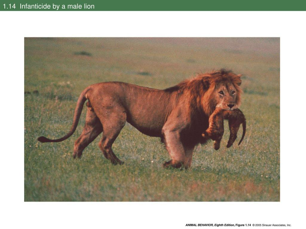 1.14  Infanticide by a male lion
