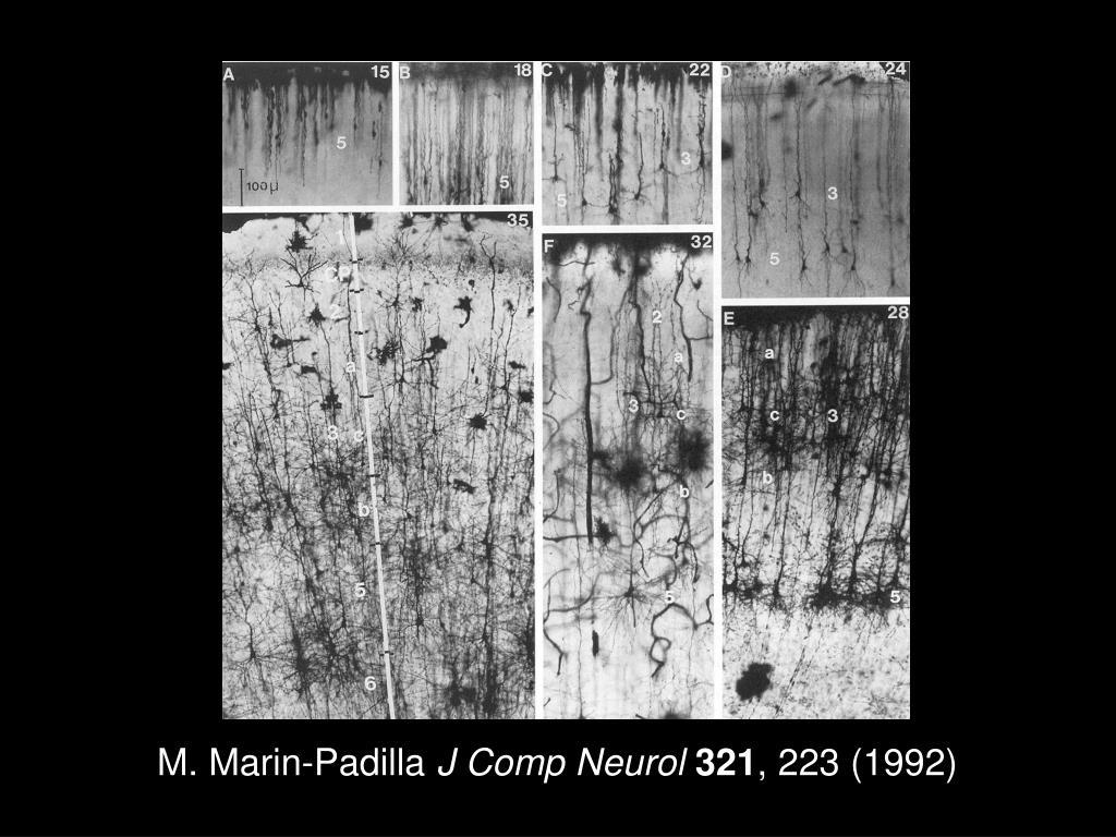 M. Marin-Padilla