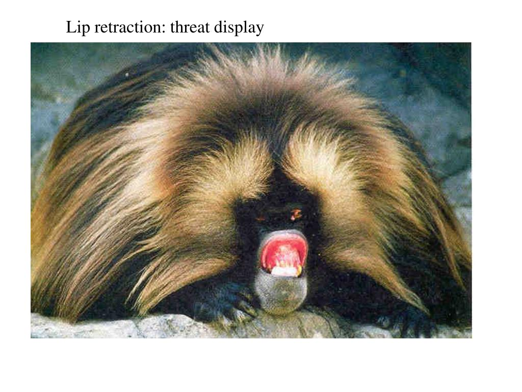 Lip retraction: threat display