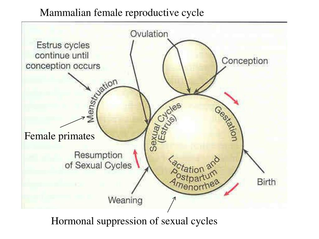 Mammalian female reproductive cycle