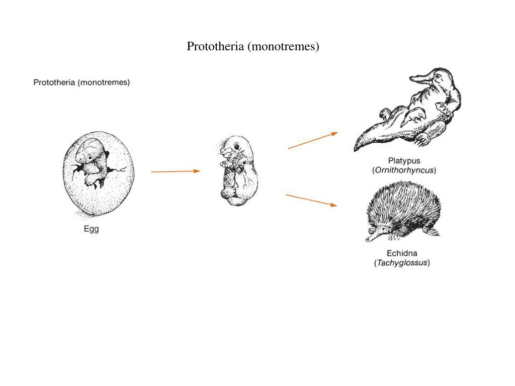 Prototheria (monotremes)