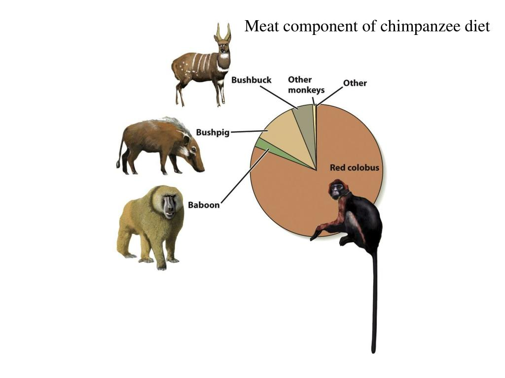 Meat component of chimpanzee diet