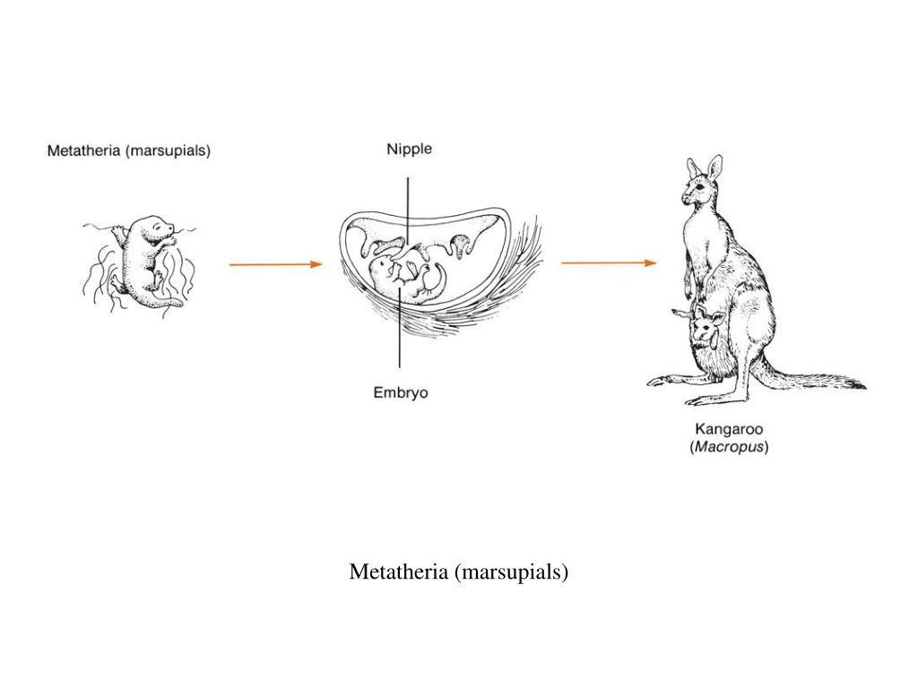 Metatheria (marsupials)