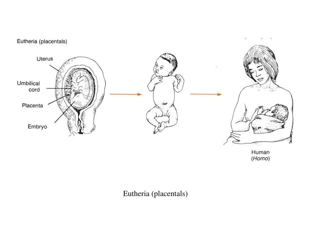 Eutheria (placentals)