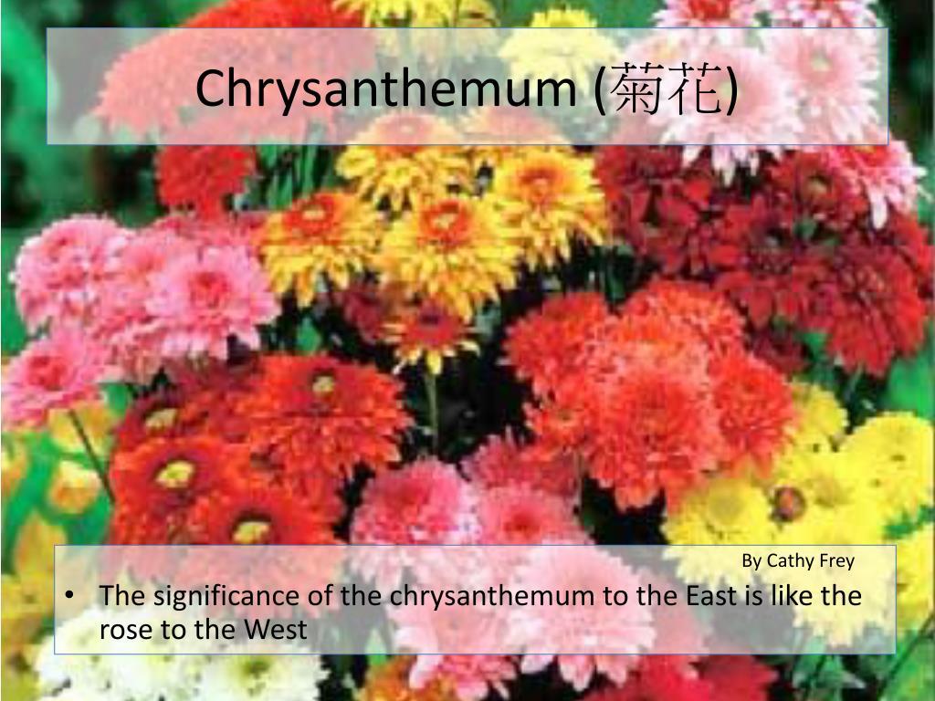 Chrysanthemum (