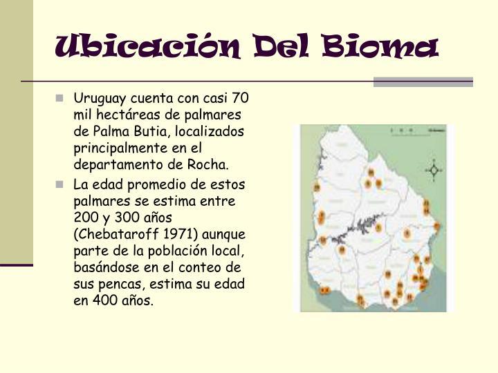 Uruguay cuenta con casi 70 mil hectáreas de palmares de Palma Butia, localizados principalmente en el departamento de Rocha.