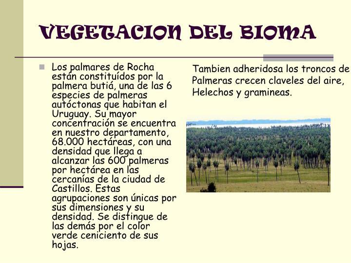 Los palmares de Rocha están constituídos por la palmera butiá, una de las 6 especies de palmeras autóctonas que habitan el Uruguay. Su mayor concentración se encuentra en nuestro departamento, 68.000 hectáreas, con una densidad que llega a alcanzar las 600 palmeras por hectárea en las cercanías de la ciudad de Castillos. Estas agrupaciones son únicas por sus dimensiones y su densidad. Se distingue de las demás por el color verde ceniciento de sus hojas.