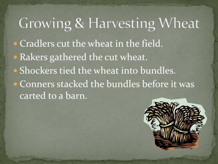 Growing & Harvesting Wheat