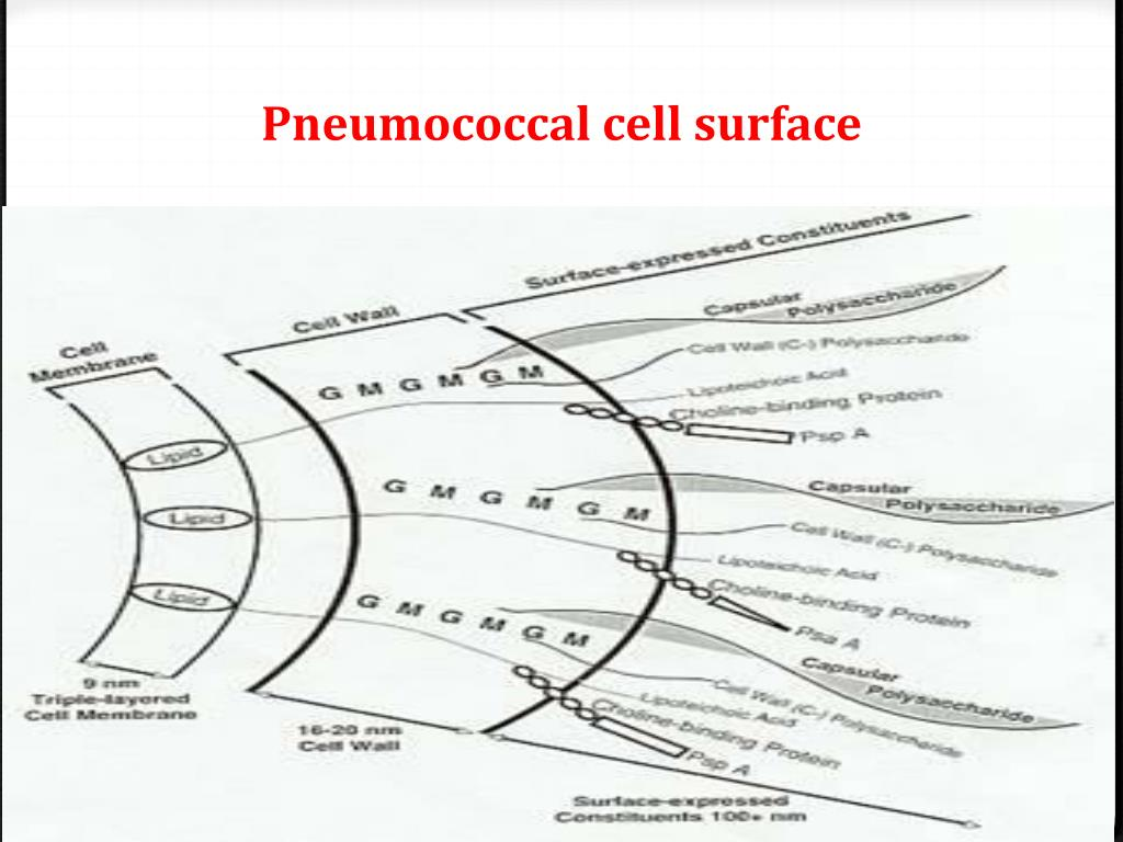 Pneumococcal cell surface