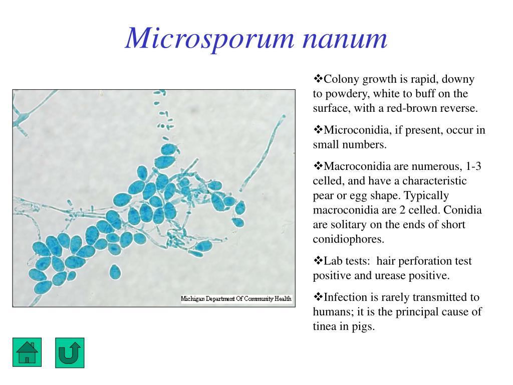 Microsporum nanum