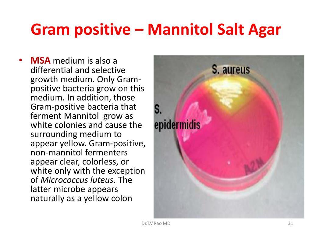 Gram positive – Mannitol Salt Agar