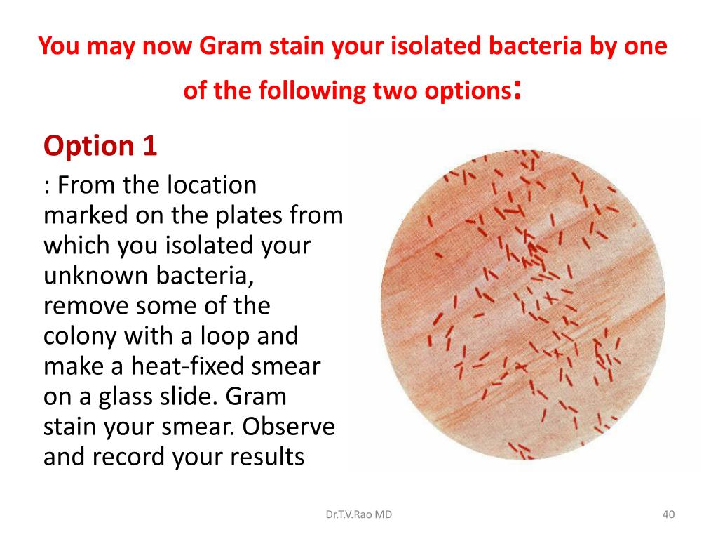 You may now Gram stain your isolated bacteria by one of the following