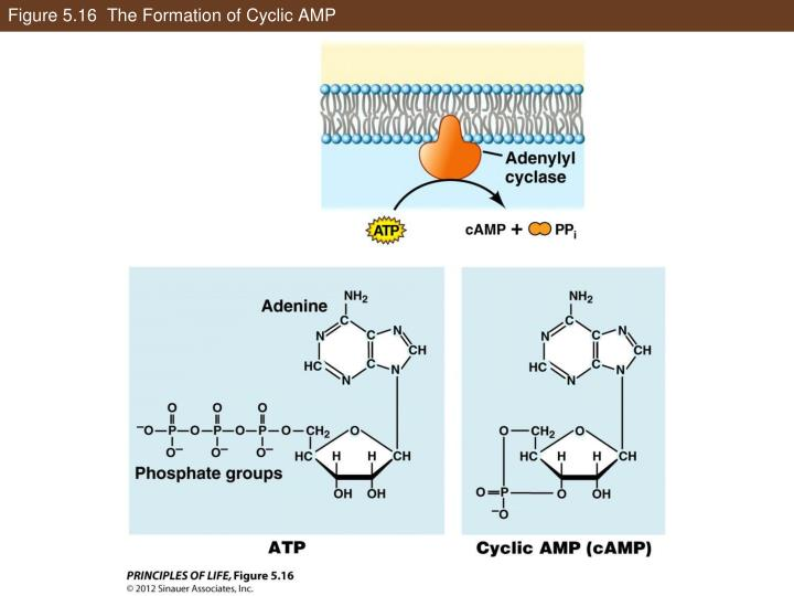 Figure 5.16  The Formation of Cyclic AMP