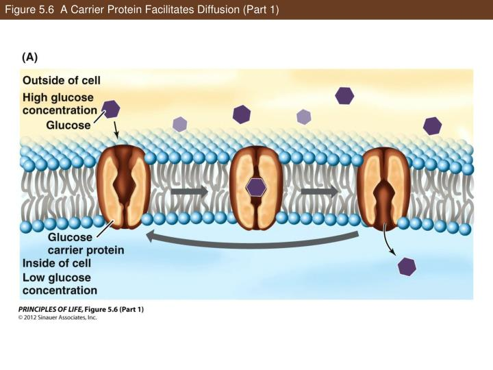 Figure 5.6  A Carrier Protein Facilitates Diffusion (Part 1)