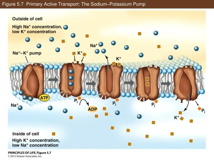 Figure 5.7  Primary Active Transport: The Sodium–Potassium Pump