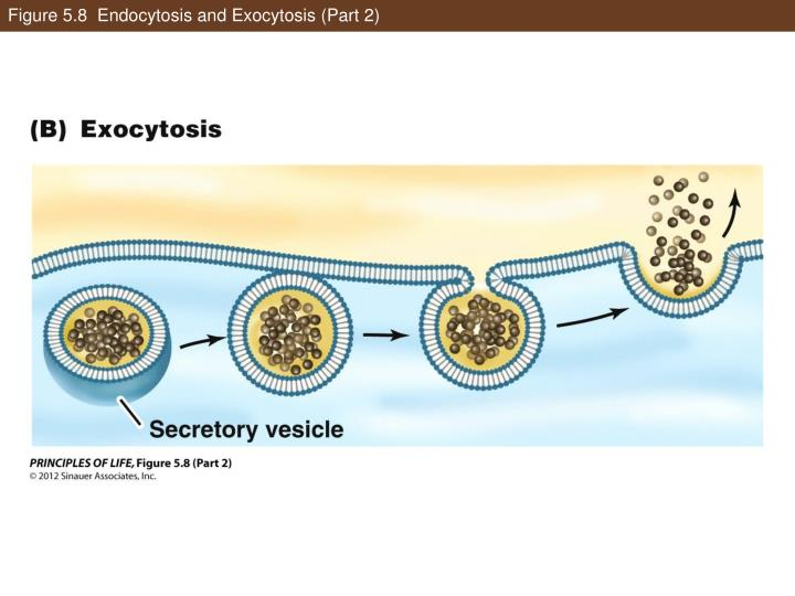Figure 5.8  Endocytosis and Exocytosis (Part 2)