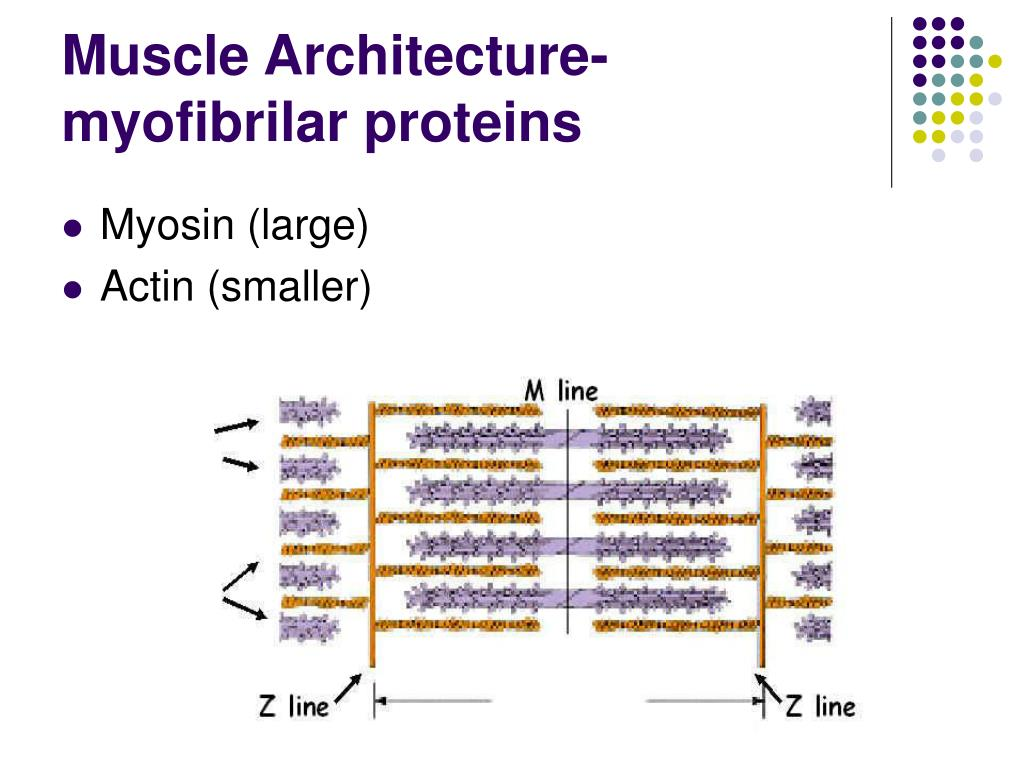 Muscle Architecture-myofibrilar proteins
