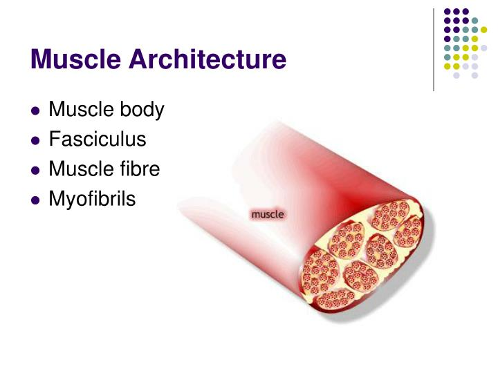 Muscle architecture l.jpg