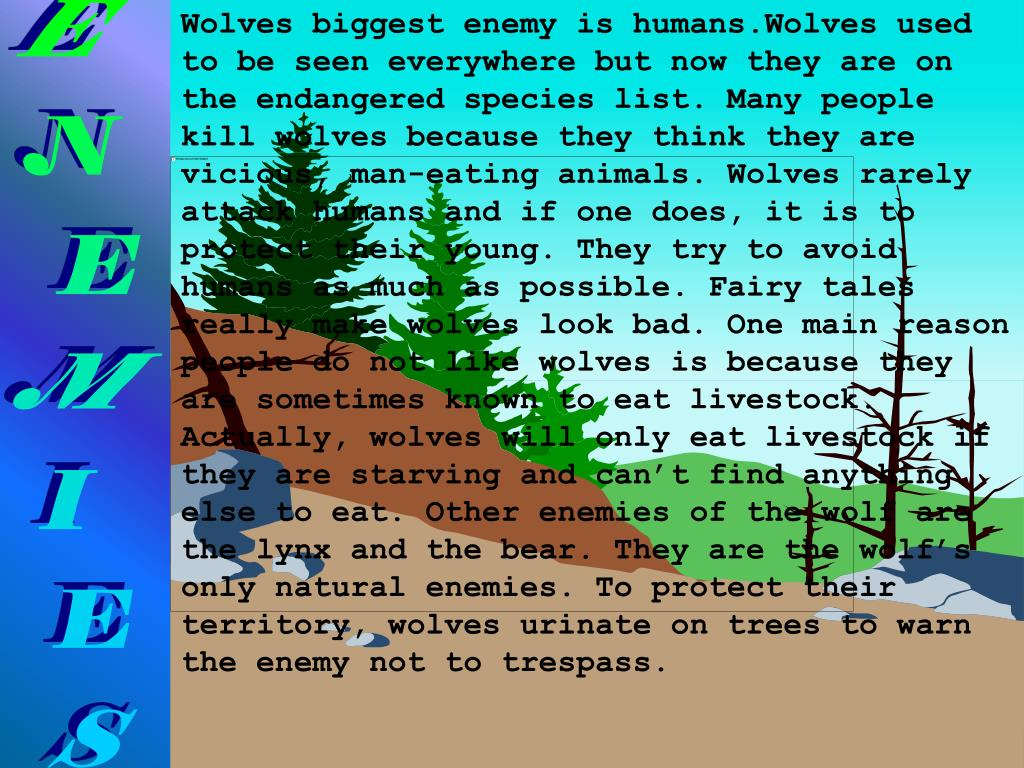 Wolves biggest enemy is humans.Wolves used to be seen everywhere but now they are on the endangered species list. Many people kill wolves because they think they are vicious, man-eating animals. Wolves rarely attack humans and if one does, it is to protect their young. They try to avoid humans as much as possible. Fairy tales really make wolves look bad. One main reason people do not like wolves is because they are sometimes known to eat livestock. Actually, wolves will only eat livestock if they are starving and can't find anything else to eat. Other enemies of the wolf are the lynx and the bear. They are the wolf's only natural enemies. To protect their territory, wolves urinate on trees to warn the enemy not to trespass.