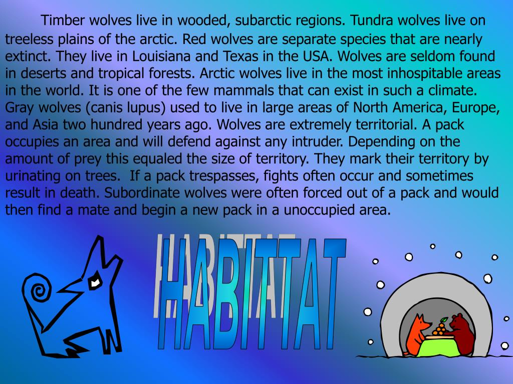 Timber wolves live in wooded, subarctic regions. Tundra wolves live on treeless plains of the arctic. Red wolves are separate species that are nearly extinct. They live in Louisiana and Texas in the USA. Wolves are seldom found in deserts and tropical forests. Arctic wolves live in the most inhospitable areas in the world. It is one of the few mammals that can exist in such a climate.             Gray wolves (canis lupus) used to live in large areas of North America, Europe, and Asia two hundred years ago. Wolves are extremely territorial. A pack occupies an area and will defend against any intruder. Depending on the amount of prey this equaled the size of territory. They mark their territory by urinating on trees.  If a pack trespasses, fights often occur and sometimes result in death. Subordinate wolves were often forced out of a pack and would then find a mate and begin a new pack in a unoccupied area.