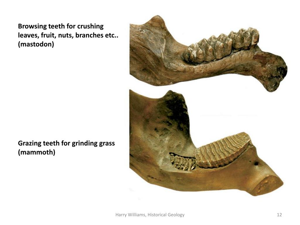 Browsing teeth for crushing  leaves, fruit, nuts, branches etc.. (mastodon)