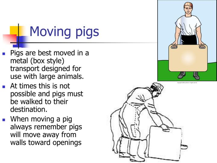 Moving pigs