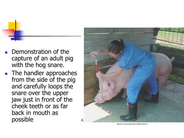Demonstration of the capture of an adult pig with the hog snare.