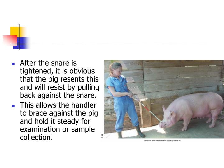 After the snare is tightened, it is obvious that the pig resents this and will resist by pulling back against the snare.