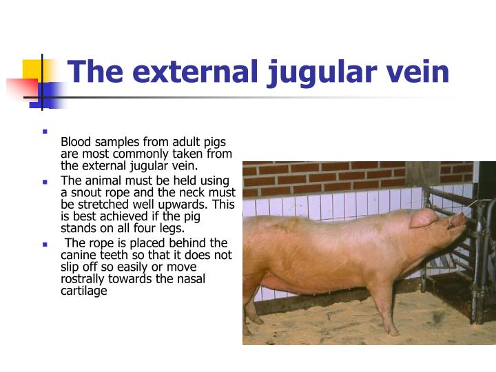 The external jugular vein
