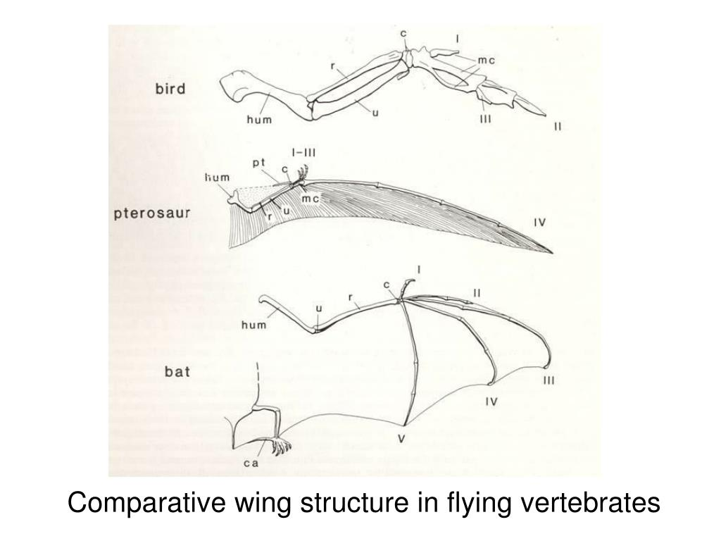 Comparative wing structure in flying vertebrates
