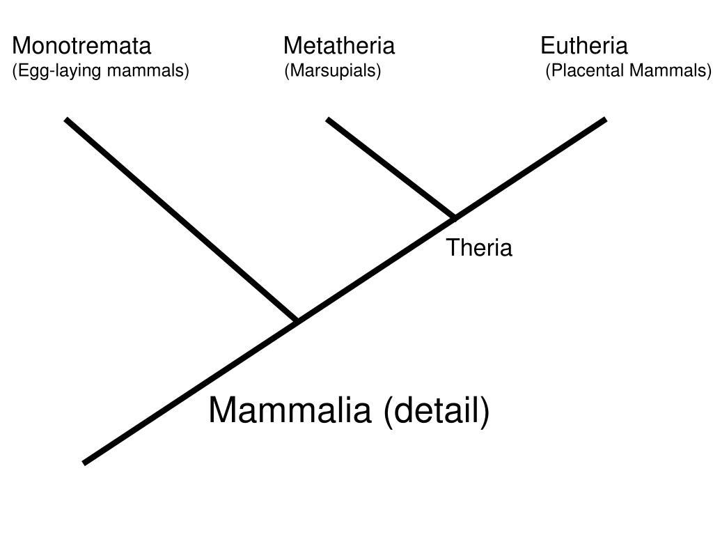 Monotremata                    Metatheria                      Eutheria