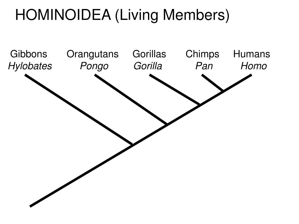 HOMINOIDEA (Living Members)