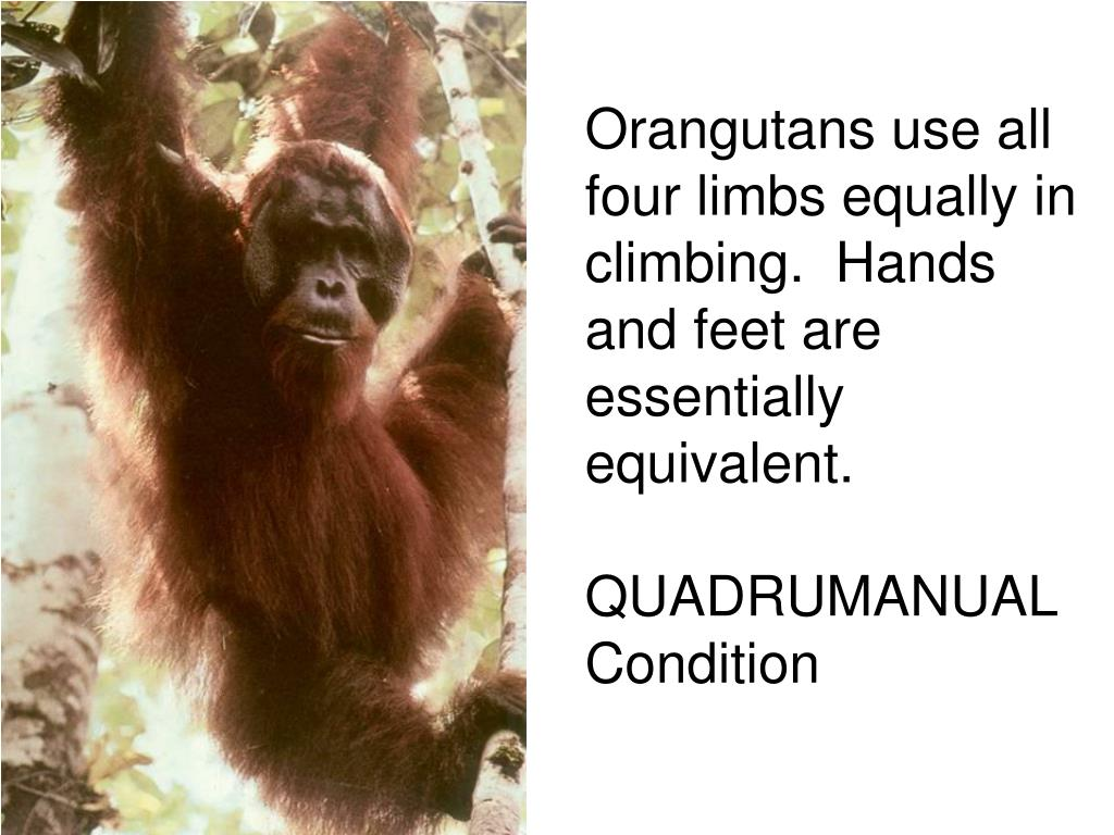 Orangutans use all four limbs equally in climbing.  Hands and feet are essentially equivalent.