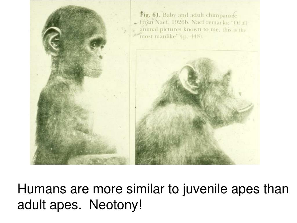 Humans are more similar to juvenile apes than adult apes.
