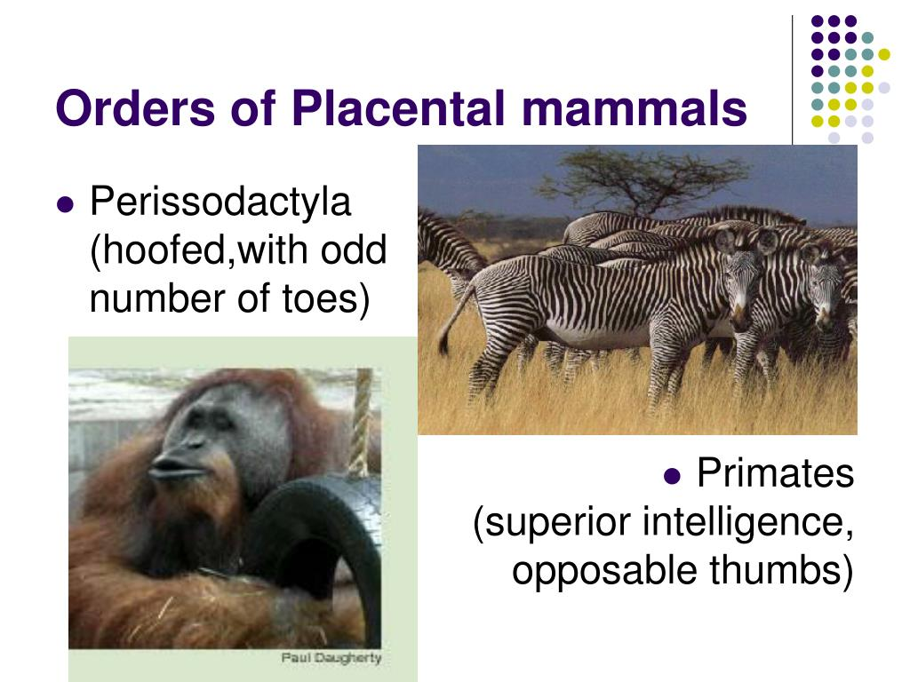 Orders of Placental mammals