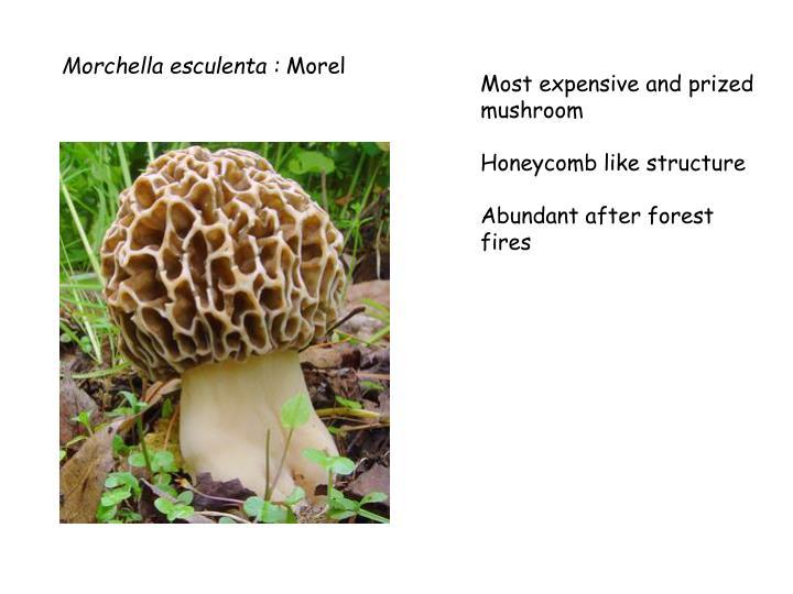 Morchella esculenta :